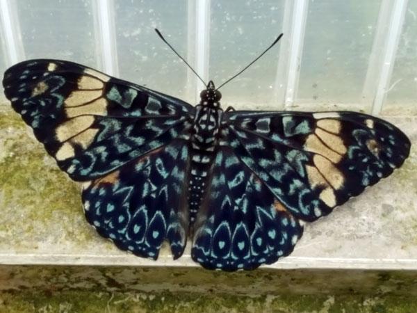 Almindelig glansvinge, sommerfugle